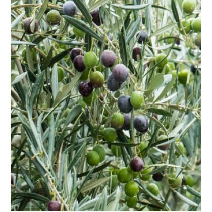 Cipressino oliva európska samoopelivá