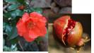 Granátové jablko ovocie
