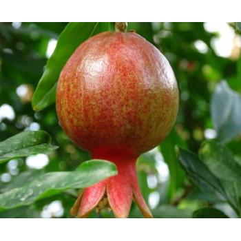 Citrus Clementina mandarinka