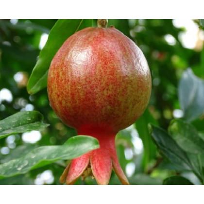 Dente di Cavallo granátové jablko exoticke ovocie