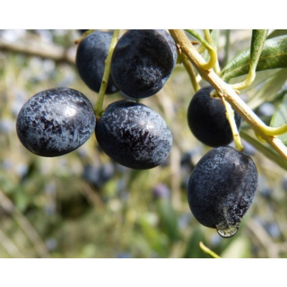 Megaron oliva európska mrazuodolná