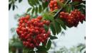 Jarabina ovocie rezistentné