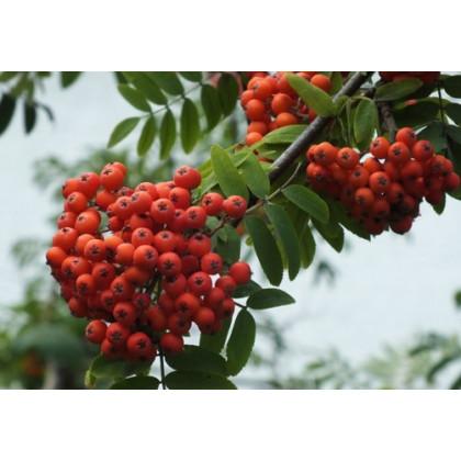 Alaja Krupnaja jarabina červeno-oranžová