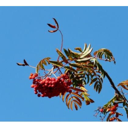 Granatnaja  jarabina velkoplodá tmavo červená