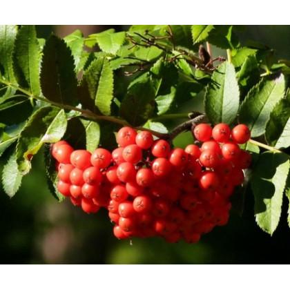Sacharnaja jarabina veľkoplodá  červená