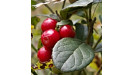 Kľukva močiarna hodnotné ovocie