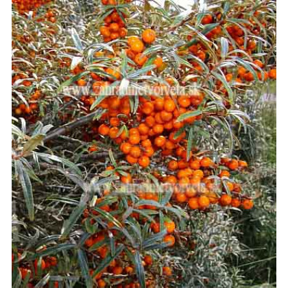 Krasavice rakytník červené plody ovocie