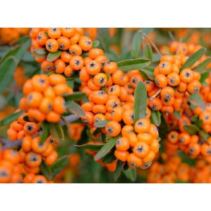Moravská sladkoplodá jarabina ovocie prostokorenná