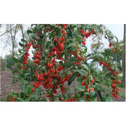 Sweet Lifeberry goji super ovocie C3L/30-40