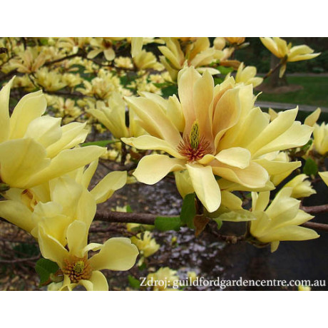 Butterflies magnolia brooklynensis C3L/ 40-50
