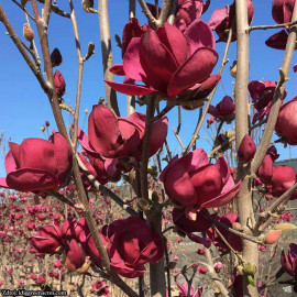 Genie magnolia brooklynensis C4L/ 50-60