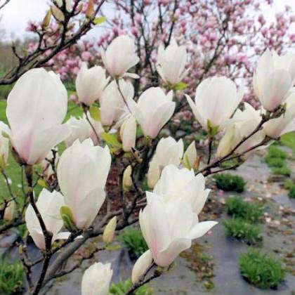 Alba Superba magnolia soulangeana C7.5L/ 60-80