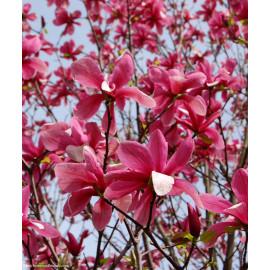 Galaxy magnolia brooklynensis C5L/ 60-80