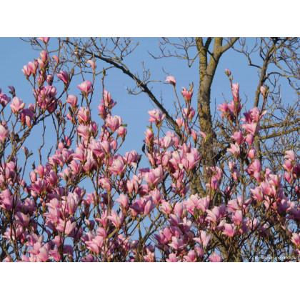 Heaven Scent magnolia brooklynensis C7.5L/ 60-80