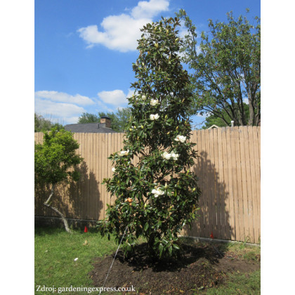 Little Gem Magnolia Grandiflora polokmeň koruna 30-40cm/C10L