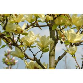 Elizabeth magnolia brooklynensis C7.5L/ 80-100