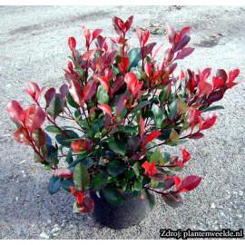 Little Red Robin Photinia Fraseri Červienka ker C2..