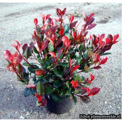 Little Red Robin Photinia Fraseri Červienka ker C2L/ 25-30