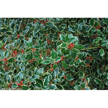 Argentea Marginata ilex aquifolium cezmína C3L/ 40-50