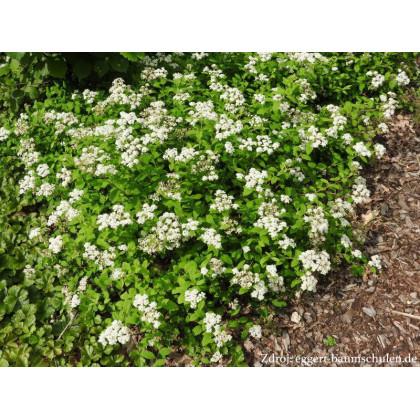 Spiraea decumbens tavoľník C1.5L/ 20-25