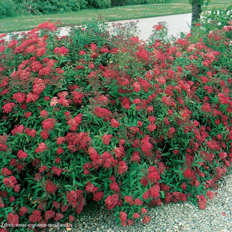 Dart's Red spiraea japonica tavoľník C2L/ 25-30