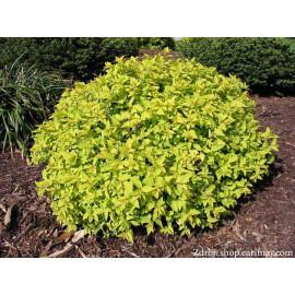 Goldmound spiraea japonica tavoľník C1.5L/ 15-20