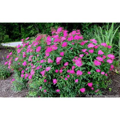 Anthony Waterer spiraea japonica tavoľník C2L/ 25-30