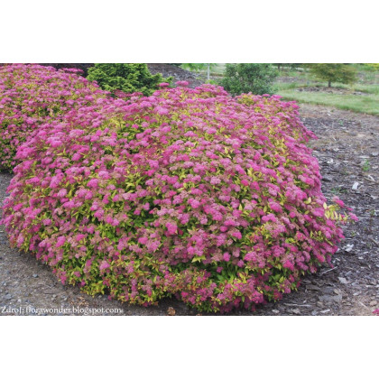 Magic Carpet / Walbuma spiraea japonica tavoľník C2L/ 20-25