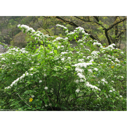 Spiraea chamaedryfolia tavoľník ožankolistý C1.5L