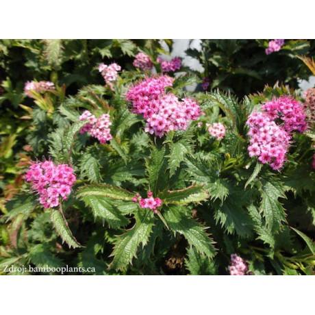 Crispa spiraea japonica tavoľník C2L/ 25-30