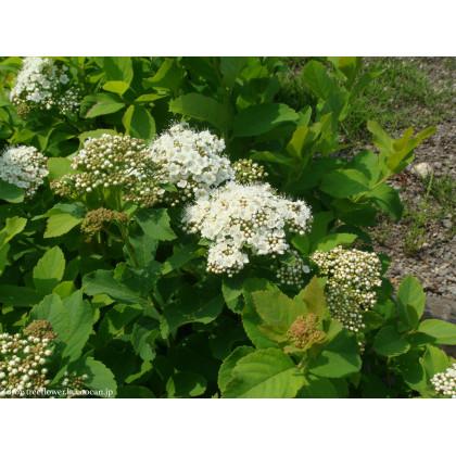 Spiraea betulifolia tavoľník C2L/ 20-25