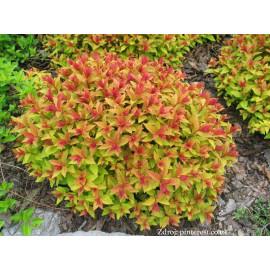 Goldflame spiraea japonica tavoľník C2L/ 25-30