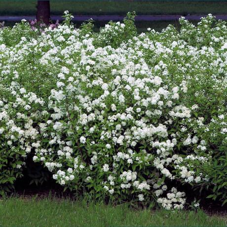 Albiflora spiraea japonica tavoľník C2L/ 25-30