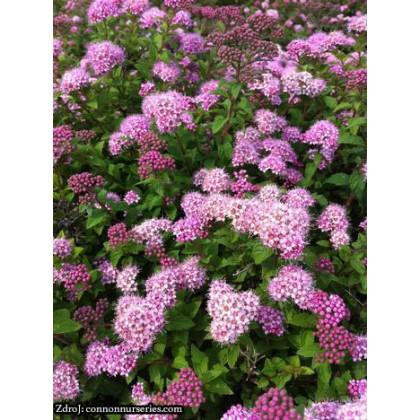 Nana spiraea japonica tavoľník C1.5L/ 10-15