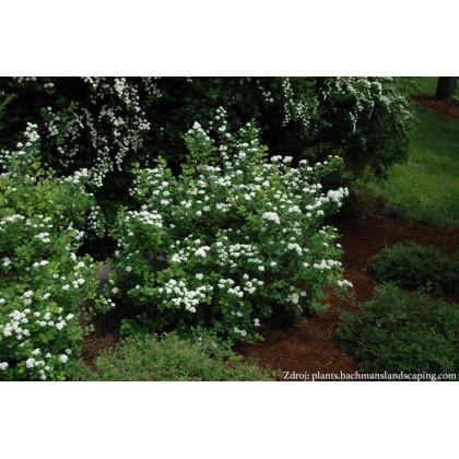 Tor Spiraea betulifolia tavoľník C2L/ 25-30