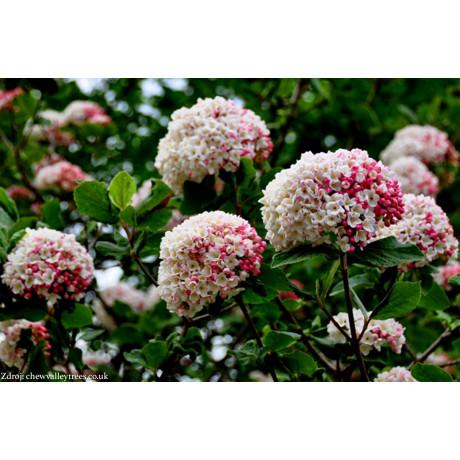 Viburnum carlesii kalina C5L/ 40-50
