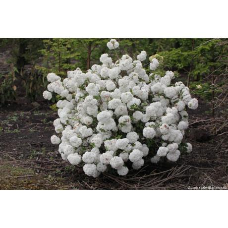 Eskimo viburnum davidii kalina C5L/ 30-40