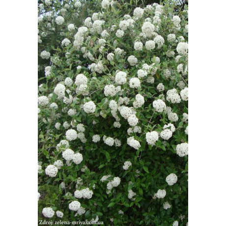 Anne Russell viburnum burkwoodi kalina C5L/ 40-50