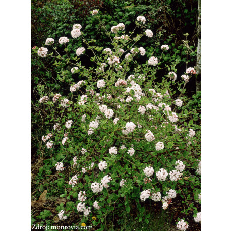 Juddii viburnum carlesii kalina C5L/ 30-40