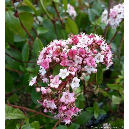 Eve Price viburnum tinus kalina C2L/ 25-30