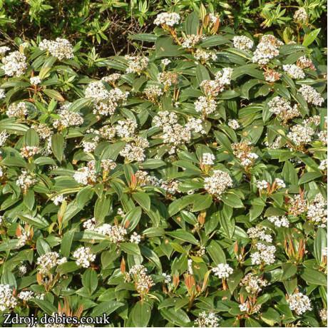 Viburnum davidii kalina C2L/ 20-25