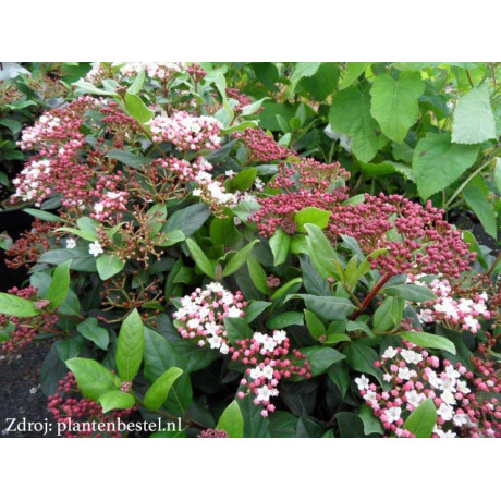 Gwenllian viburnum tinus kalina C2L/ 25-30