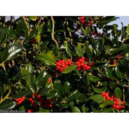 J.C. van Tol ilex aquifolium cezmína C5L/ 50-60
