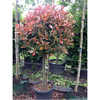 Red Robin Photinia červienka kmienik 180-200cm/C35L/o10-12cm
