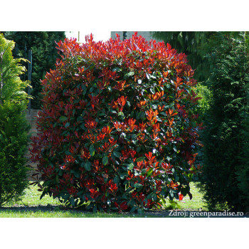 Red Robin Photinia červienka ker 150-175cm/C18L