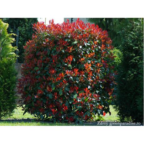 Red Robin Photinia červienka ker 80-100cm/C5L