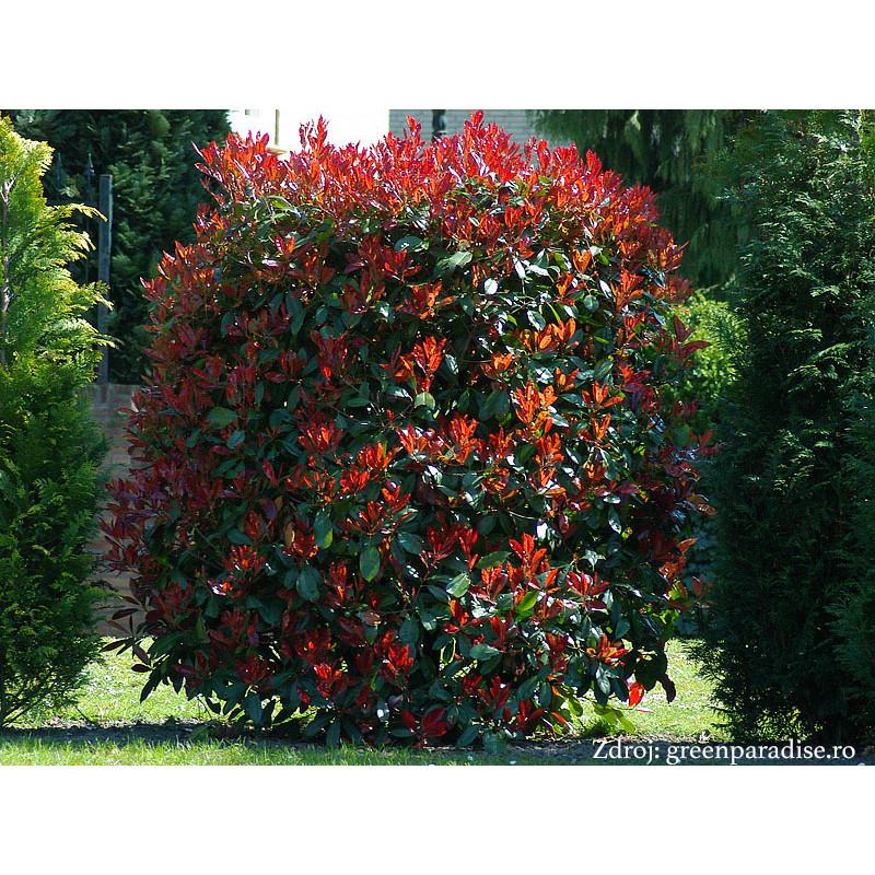 Red Robin Photinia červienka ker C5L/ 40-50