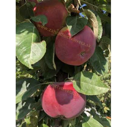 Ostankino jabloň stĺpovitá zimná