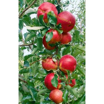 Red River jabloň stĺpovitá jesenná kontajnerovaná C7,5