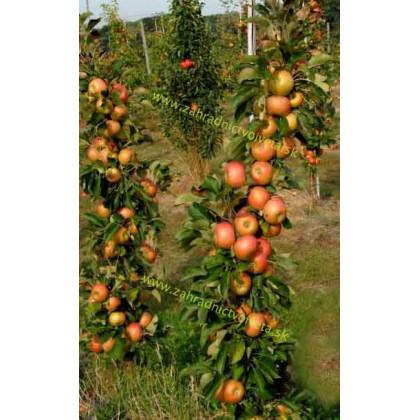 Rhapsodie jabloň stĺpovitá jesenná kontajnerovaná C7,5L/100-150cm